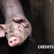 Nouvelle vidéo choc de L214 : des porcs du Tarn vivent dans leurs excréments