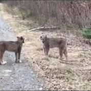 Les cris (très) surprenants de deux lynx en pleine confrontation
