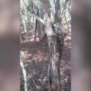 Nouvelle-Calédonie: un python de 4m retrouvé