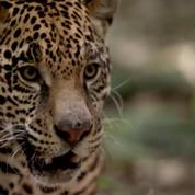 Mexique : les jaguars en augmentation de 20%