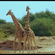 Les girafes boxeuses, extrait exclusif d'Un Nouveau Jour sur Terre