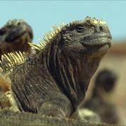 La course pour la survie des iguanes, extrait exclusif d'Un Nouveau Jour sur Terre