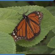 Des papillons magnifiques hibernent au Mexique