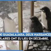 Mexique : deux manchots Adélie sont nés au zoo de Guadalajara
