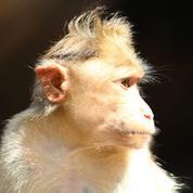 Le macaque, un bon modèle pour l'étude de Zika