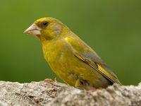 Au jardin ce week end nourrissez les oiseaux - Les oiseaux de nos jardins et de nos campagnes ...