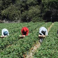 Des cas de harcèlement perturbent la récolte des fraises en Espagne
