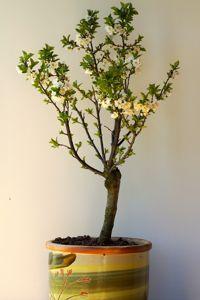 Au jardin ce week end faites pousser des pommiers sur for Cerisier nain garden bing