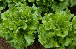 Les salades, première cause d'empoisonnement aux USA