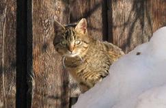 Tuberculose: premiers cas de transmission du chat à l'homme