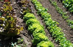 Pesticides interdits sur les salades : «Plusieurs scénarios sont possibles»