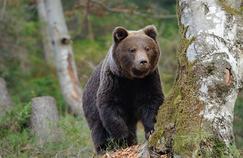 Le grizzly devient diabétique quand il hiberne