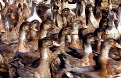 Grippe aviaire: pas de crainte pour volailles et foie gras