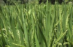 Un riz OGM pour lutter contre la diarrhée