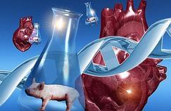 Greffes d'organes animaux, entre espoirs et déconvenues