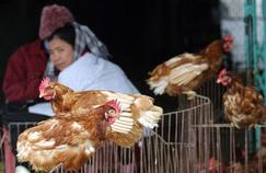 H5N1: marchés de volailles à haut risque