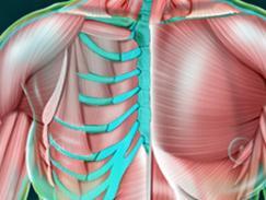 Biceps crural