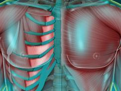 Muscle intercostal