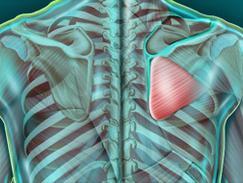 Muscle sous-épineux