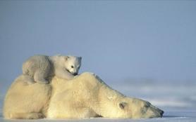 L'ours des glaces