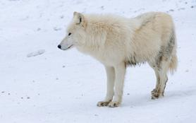L'heure des loups