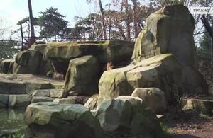 Découvrez la meute de loups du parc zoologique de Paris