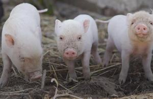 Les cochons à la rescousse des humains
