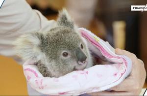 Décimés par une MST, les koalas peuvent-ils être sauvés par leur génome ?