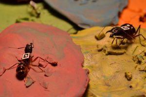 De la pâte à modeler a permis d'immobiliser les fourmis. (crédits photo: Alessandro Crespi)