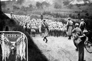 Réquisition du bétail en 1914.