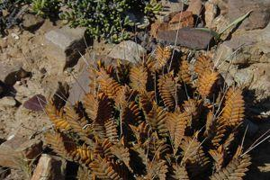 <i>Haworthia viscosa</i>. Crédits photo: N. Rebmann/SNHF.
