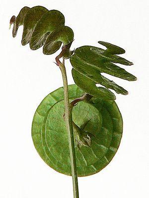 Ces gousses de luzerne rondes arborent de vertes spirales qu'envieraient bien des designers. Le créateur, s'appelle Dame Nature. DR