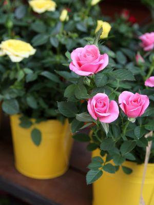 Certaines variétés miniatures sont adaptées à culture en pot.