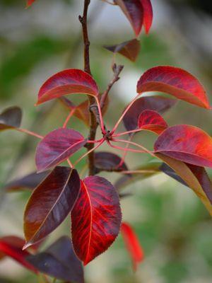 Attendre pour tailler vos poiriers, que toutes leurs feuilles soient tombées. Crédit photo: LongitudeLatitude sous licence Creative Commons.