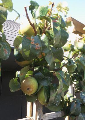 Au jardin ce week end les liserons ne pousseront pas for Ver gris noctuelle