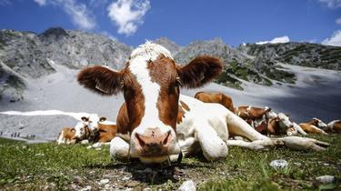 Un touriste tué par une vache dans les Hautes-Pyrénées