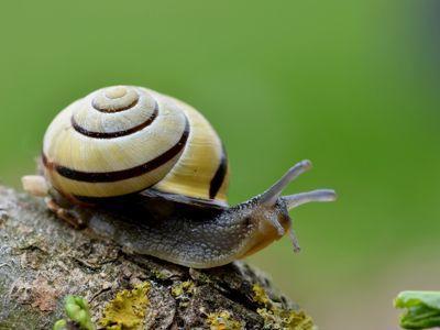 Le petit escargot des jardins reconnaissable à sa coquille ornée de bandes spirales. Crédit photo: Thomas Tuchlitz/Fotolia.com