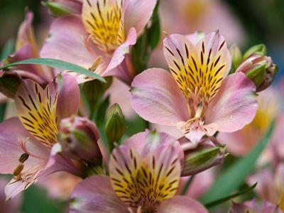 Les alstrœmères ou lys des Incas sont encore en fleurs comme aux plus beaux jours. Crédit photo: kanegen sous licence Creative Commons.