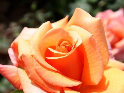 La rose est devenue le symbole même de l'élégance. Crédit photo: Nick Collister sous licence Creative Commons.