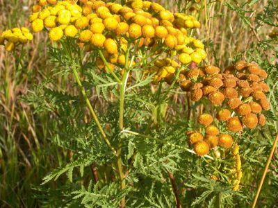 Parasitisme faut il jeter les purins de plantes aux orties - Purin de prele ...