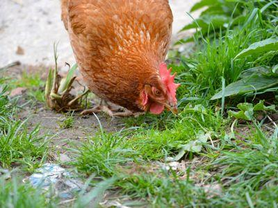 Les poules n'ont pas leur pareil pour débusquent les vers, insectes et parasites végétaux.