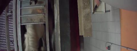 L'association de défense des animaux L214 publie une nouvelle vidéo de cruauté dans les abattoirs
