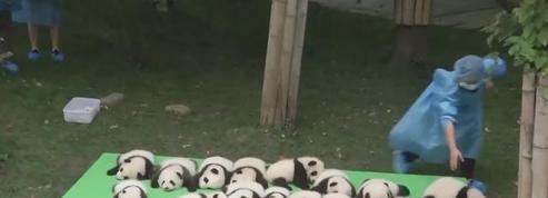 23 bébés pandas géants réunis dans une seule vidéo