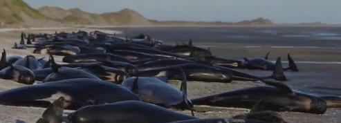 Nouvelle-Zélande : plus de 600 baleines s'échouent en deux jours