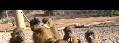 Des singes savent reproduire des sons comparables à des voyelles