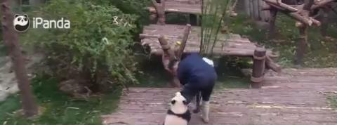 Ce panda est un vrai pot de colle