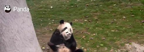 Un petit panda tente de se libérer de l'étreinte de sa mère