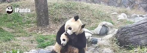 Une maman panda tente de donner le bain à son petit