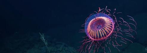 Cette méduse est extraordinairement belle !