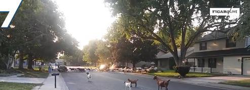 États-Unis : plus de 100 chèvres s'invitent dans un quartier résidentiel